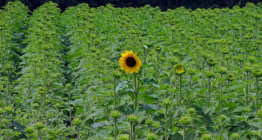 standing-tall-sunflower-ms-judi